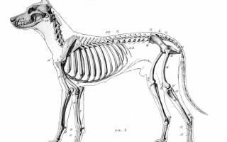 Анатомия собаки: скелет и внутреннее строение мышц, костей и органов