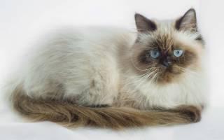 Гималайская кошка: описание породы кошек и цены на котят