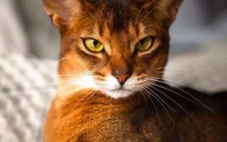 Абиссинская кошка: описание породы, характера, поведения, размер и вес