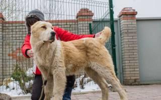 9 сторожевых собак для охраны частного дома: какую породу выбрать и стоимость