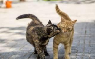 Кошка гуляет: как успокоить в домашних условиях и какие народные средства использовать