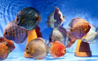 Рыбка дискус: содержание и уход, совместимость с другими рыбками в аквариуме
