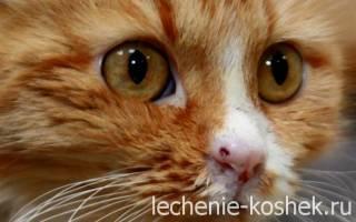 Кальцевирусная инфекция у кошек: симптомы и лечение в домашних условиях