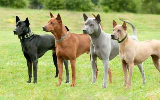 Тайский риджбек: описание породы, характер и стоимость щенка