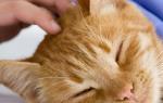 Черная или коричневая грязь в ухе кота: причины, что делать