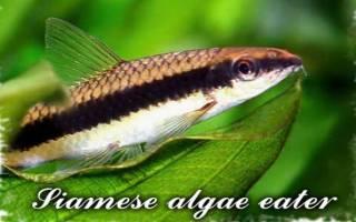 Сиамский водорослеед: содержание и разведение в аквариуме, разновидности