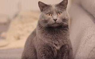 Картезианская кошка или шартрез: описание породы, отличия от британцев
