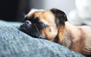 Почему собака пукает: причины метеоризма и лечение газов в кишечнике
