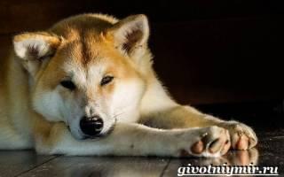 Акита ину: описание и характеристика породы собак, стоимость щенков в питомниках