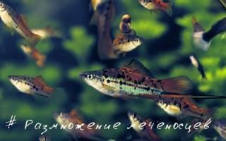Рыбка меченосец: содержание и уход, размножение и разведение в домашних условиях