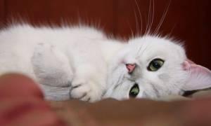 Возраст кошки по человеческим меркам: таблица сравнения, сколько лет коту по человеческим меркам