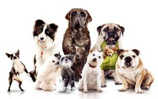 10 самых умных пород собак в мире: описание и характеристика