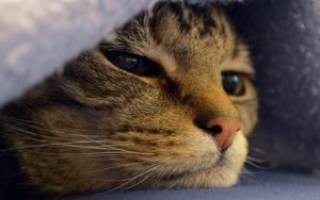 5 видов рака у кошек: симптомы и лечение онкологии