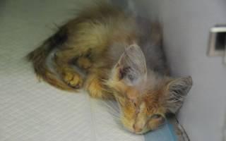 Чумка или панлейкопения у кошек: симптомы и лечение в домашних условиях, признаки