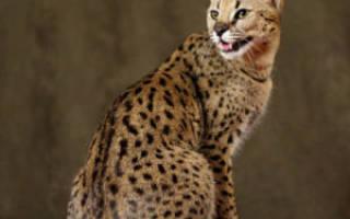 Кошка саванна: описание породы, характер и темперамент, кормление и разведение гибрида
