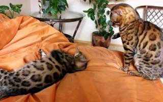 8 лучших пород кошек с тигровым окрасом