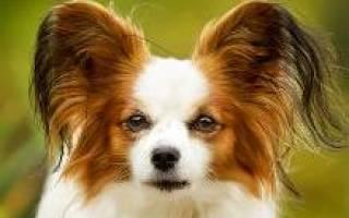 Собака папильон или континентальный той спаниель: описание породы, характер