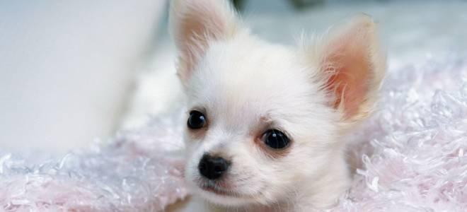 15 лучших пород карманных собачек: характеристика и стоимость щенков
