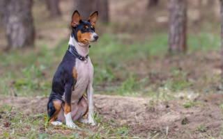 Энцефалит у собак: симптомы и лечение, как проявляется, лекарство, как определить