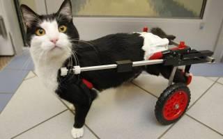 Как делать коту или кошке массаж задних лап: почему у кота отказали задние лапы и что делать