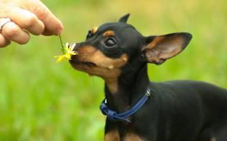 15 маленьких пород собак: описание и стоимость игрушечных собак