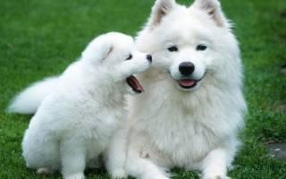 8 самых пушистых и белых пород собак: большие, средние и маленькие