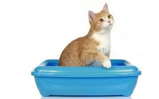 Причины и лечение недержания мочи у кота: что делать в домашних условиях