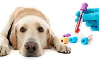 Биохимический анализ крови у собак: нормы и таблица расшифровки результатов
