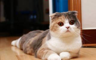 Стерилизация кошки во время или после течки и беременности: можно ли, когда лучше стерилизовать