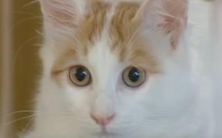 Турецкий ван: описание породы кошек, ее окраса и внешнего вида, содержание и уход, где купить