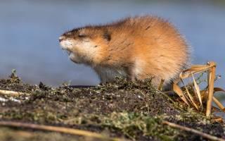 Ондатра: чем питается и как выглядит, образ жизни, размножение и распространение