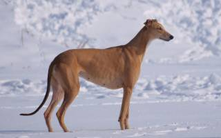 Английская борзая или грейхаунд: описание породы и стоимость щенка