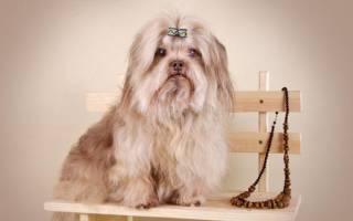 4 вида собак породы болонка: описание, как они выглядят, условия содержания и ухода