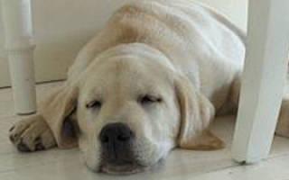 Гастрит у собаки: симптомы, лечение и чем кормить, питание при гастрите