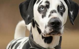 Далматинец: описание породы и характер, стоимость щенка