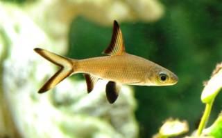 Акулий балу: содержание и совместимость с другими аквариумными рыбками
