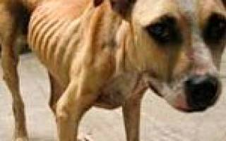 Щенок не набирает вес на сухом корме: причины при хорошем аппетите и его отсутствии, помощь истощенной собаке