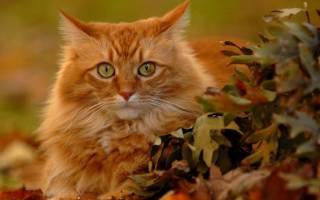 Рыжие коты в доме: приметы и суеверия, трактовка поведения и характер