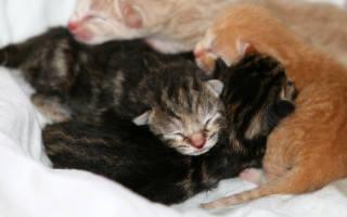 Как кормить новорожденного котенка без кошки в домашних условиях и когда начинать прикорм