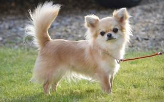4 метиса чихуахуа: с йорком, шпицем, пекинесом и той терьером, как отличить от породистого щенка от помеси