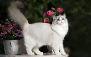 Кошки рэгдолл: характер и описание породы