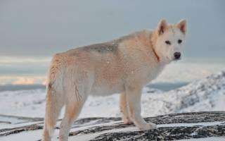 Гренландская ездовая собака: описание и стандарт породы, характер ездовой собаки