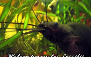Мешкожаберный сом: содержание в домашних условиях, совместимость с другими рыбами