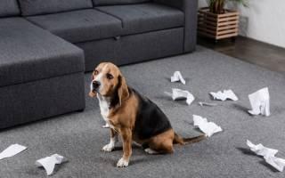 Как отучить собаку грызть вещи в отсутствие хозяина: что делать