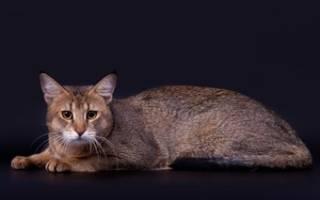 Кошка хауси (чаузи): описание породы, содержание и уход, окрас и темперамент животного