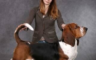Бассет хаунд: описание породы собаки с длинными ушами и грустными глазами