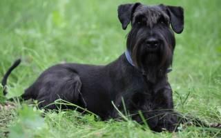 Ризеншнауцер: описание и характеристика породы собак, дрессировка и характер питомца