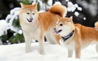 12 японских пород собак: описание и стоимость щенков