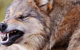 9 пород собак-волкодавов: как они выглядят и сколько стоят