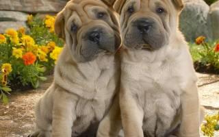 5 лучших морщинистых пород собак со складками: фото, описание и стоимость щенков